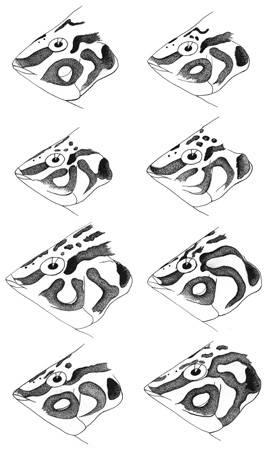 To NMNH Extant Collection (Halichoeres nebulosus P12135 illustration)