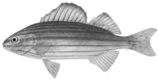 To NMNH Extant Collection (Helotes sexlineatus P12190 illustration)