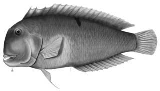 To NMNH Extant Collection (Hemipteronotus jenkinsi P12283 illustration)