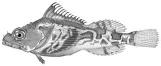 To NMNH Extant Collection (Hemitripterus marmoratus P12730 illustration)