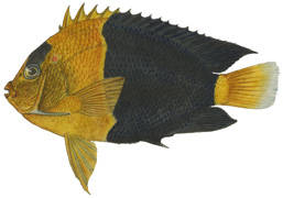 To NMNH Extant Collection (Holacanthus bicolor P02629 illustration)