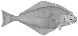 To NMNH Extant Collection (Hippoglossus hippoglossus P12887 illustration)