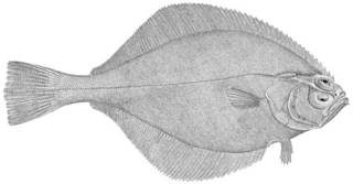 To NMNH Extant Collection (Hippoglossoides elassodon P12889 illustration)