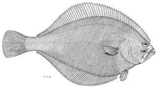 To NMNH Extant Collection (Hippoglossoides robustus P12890 illustration)
