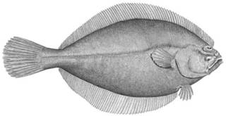 To NMNH Extant Collection (Hippoglossoides platessoides P12891 illustration)