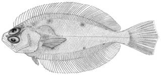 To NMNH Extant Collection (Hippoglossina mystacium P12910 illustration)