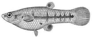 To NMNH Extant Collection (Heterandria formosa P12788 illustration)
