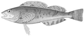 To NMNH Extant Collection (Hexagrammos stelleri P12838 illustration)