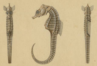 To NMNH Extant Collection (Hippocampus abdominalis P12859 illustration)