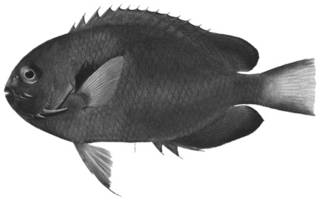 To NMNH Extant Collection (Holacanthus fisheri P12943 illustration)
