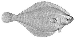 To NMNH Extant Collection (Hippoglossoides propinquus P15300 illustration)