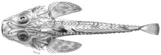 To NMNH Extant Collection (Hoplichthys platophrys P13082 illustration)
