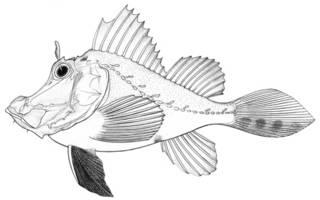 To NMNH Extant Collection (Hipposcorpaena filamentosa P15914 illustration)