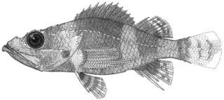 To NMNH Extant Collection (Hypomacrus brocki P13775 illustration)
