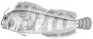To NMNH Extant Collection (Hypsoblennius hentzi P01148 illustration)