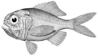 To NMNH Extant Collection (Hoplostethus mediterraneus P08585 illustration)