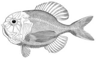 To NMNH Extant Collection (Hoplostethus metallicus P15921 illustration)