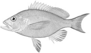 To NMNH Extant Collection (Hypoplectrus gemma P13780 illustration)