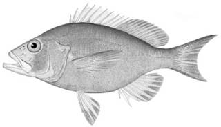 To NMNH Extant Collection (Hypoplectrus gemma P13781 illustration)