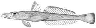 To NMNH Extant Collection (Hypsicometes gobioides P13925 illustration)