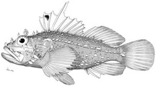 To NMNH Extant Collection (Iracundus signifer P14324 illustration)