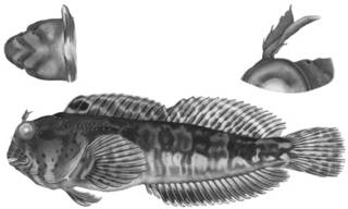 To NMNH Extant Collection (Hypsoblennius sordidus P17467 illustration)