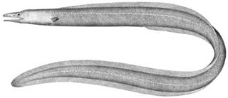 To NMNH Extant Collection (Ilyophis brunneus P01574 illustration)