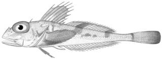 To NMNH Extant Collection (Icelus scutiger P13954 illustration)