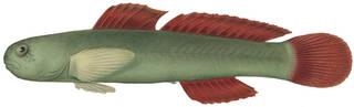 To NMNH Extant Collection (Kelloggella cardinalis P01538 illustration)