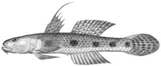 To NMNH Extant Collection (Illana cacabet P14050 illustration)