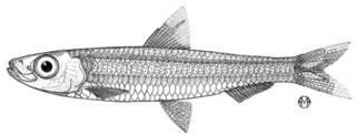 To NMNH Extant Collection (Jenkinsia bermudana P14437 illustration)