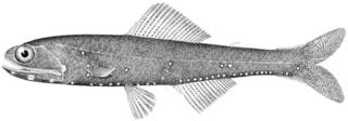 To NMNH Extant Collection (Lampanyctus quercinus P14595 illustration)