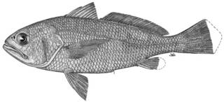 To NMNH Extant Collection (Larimus gulosus P14633 illustration)