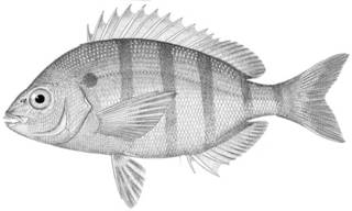 To NMNH Extant Collection (Lagodon rhomboides P01120 illustration)
