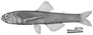 To NMNH Extant Collection (Lampanyctus gemmifer P09064 illustration)