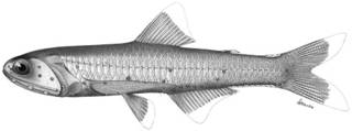 To NMNH Extant Collection (Lampanyctus gemmifer P09065 illustration)