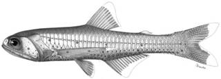 To NMNH Extant Collection (Lampanyctus alatus P14579 illustration)