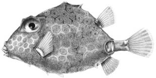 To NMNH Extant Collection (Lactophrys tritropis P09455 illustration)