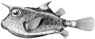 To NMNH Extant Collection (Lactoria galeodon P14550 illustration)
