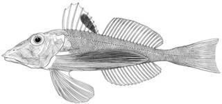 To NMNH Extant Collection (Lepidotrigla pectoralis P14714 illustration)