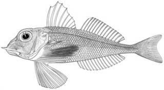 To NMNH Extant Collection (Lepidotrigla oglina P14716 illustration)