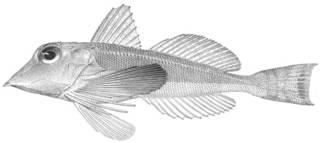 To NMNH Extant Collection (Lepidotrigla kishinouye P14718 illustration)