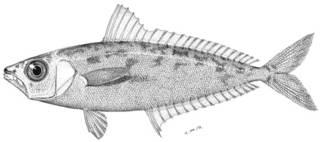 To NMNH Extant Collection (Leiognathus elongatus P09471 illustration)
