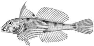 To NMNH Extant Collection (Leiocottus hirundo P14649 illustration)
