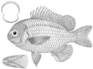 To NMNH Extant Collection (Lepicephalochromis cupreus P14674 illustration)