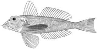 To NMNH Extant Collection (Lepidotrigla venusta P14710 illustration)