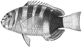 To NMNH Extant Collection (Lepidaplois mirabilis P14700 illustration)