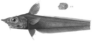 To NMNH Extant Collection (Mataeocephalus nigrescens P14074 illustration)