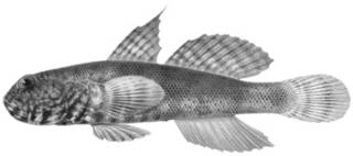 To NMNH Extant Collection (Mars strigilliceps P14082 illustration)