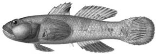 To NMNH Extant Collection (Mapo crassiceps P14094 illustration)